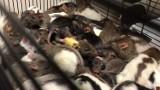 Tarnów. Hodowla szczurów w bloku wymknęła się spod kontroli. Gryzonie opanowały mieszkanie. Wyłapali je miłośnicy zwierząt [ZDJĘCIA] 4.03