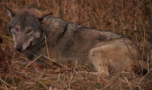 Tego basiora, czyli samca wilka, znaleziono schwytanego we wnyki. Zwierzę zostało uwolnione przez skarżyskich leśników.