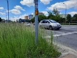 Przy radomskich ulicach rosną wysokie trawy. Kierowcy narzekają, piesi też mają kłopoty. Kiedy będzie koszenie?