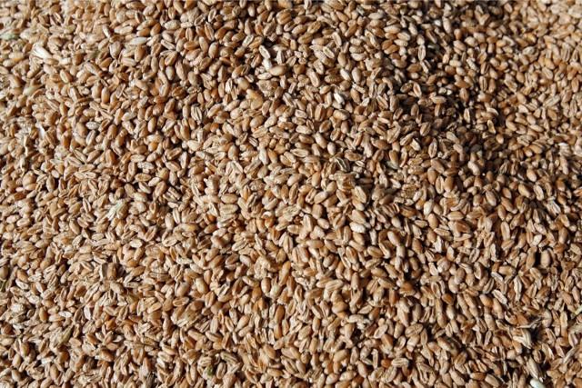 GUS podał ceny skupu produktów rolnych za październik. Cena dt (100 kg) pszenicy ukształtowała się na poziomie 81,04 zł.
