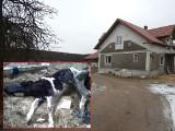 Zambrzyce Króle: 18 krów padło z głodu w gospodarstwie. 23-letnia właścicielka zgotowała zwierzętom piekło (zdjęcia)