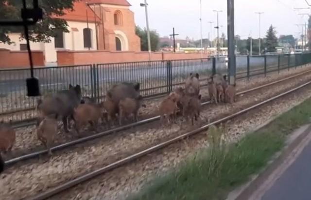 Najbardziej narażone na pojawianie się dzików są wschodnie dzielnice Poznania.