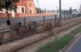 Poznań: Czy dziki w mieście stanowią zagrożenie? Jak postępować, gdy je spotkamy?