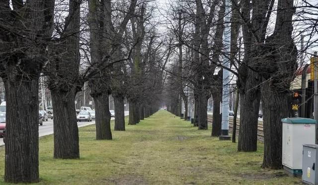 Prokuratura umorzyła dochodzenie ws. wycinki Wielkiej Alei Lipowej w Gdańsku