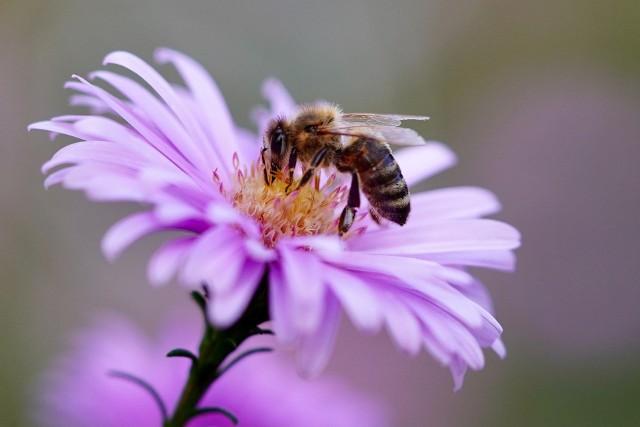 Już Albert Einstein ostrzegał, że jeśli wyginą pszczoły, to rodzajowi ludzkiemu zostaną tylko cztery lata życia.