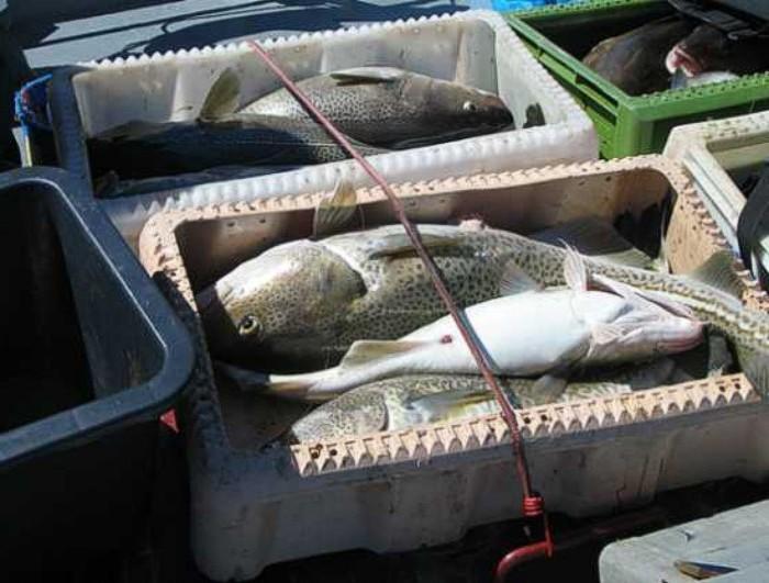 Rybacy zapowiadają, że Brukseli nie uda się założyć kagańca na dorsza ze wschodniej części Morza Bałtyckiego.