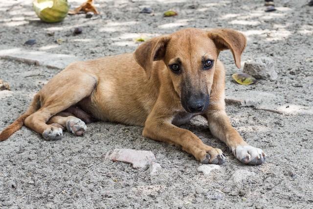 Do adaptacji koronawirusa umożliwiających zarażanie ludzi mogło dojść z udziałem bezdomnych psów