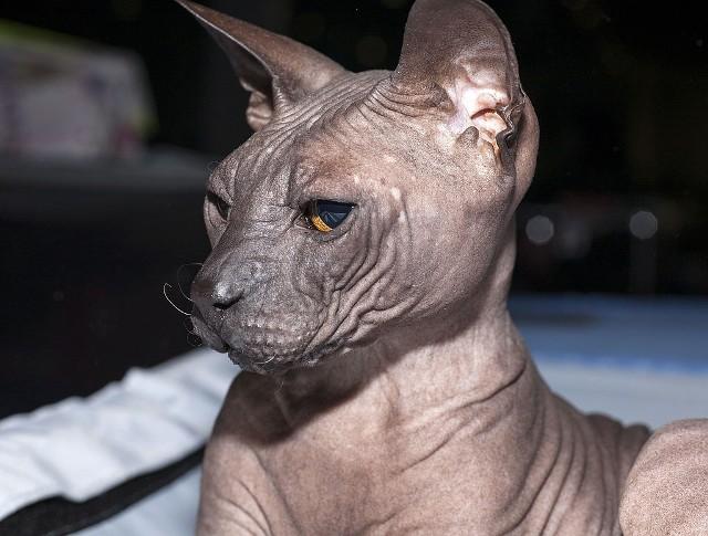 Doński Sfinks Nazwa kota nie jest przypadkowa. Pochodzi ona od Rostowa nad Donem, gdzie urodził się pierwszy przedstawiciel tej rasy. Co ciekawe, nie każdy jest całkowicie pozbawiony sierści. Istnieją cztery odmiany owłosienia dońskiego sfinksa: - flocked - ciało kota pokryte jest włoskami podobnymi do zamszu- rubber bald - ciało kota jest całkowicie łyse- brush - początkowo kot posiada sierść, która z wiekiem miejscowo wypada, tworząc na ciele łyse plamy.  - velour-coated – zwierzę posiada wełnistą sierść,którą traci w niecały rok po narodzeniu. Łysieje całkowicie lub pozostawia włoski na ogonie i pyszczku. Waga dońskiego sfinksa waha się od 3 do 5 kg. Jednak bardzo długo żyje. Może dożyć nawet 15-16 lat. Rasa ta niezwykle mocno przywiązuje się do właściciela. Jest bardzo przyjazna, wesoła, uczuciowa. Lubi być w centrum uwagi, jednak warto zaznaczyć, że dońskim sfinksom nie przeszkadza obecność innych zwierząt domowych. Jeśli chodzi o wystawy tych kotów - im więcej zmarszczek ma kot, tym jest cenniejszy.
