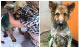 Miał rany na całym ciele, larwy zjadały go żywcem. Karolina Kosała z Łap uratowała psa i zbiera na jego leczenie [ZDJĘCIA]