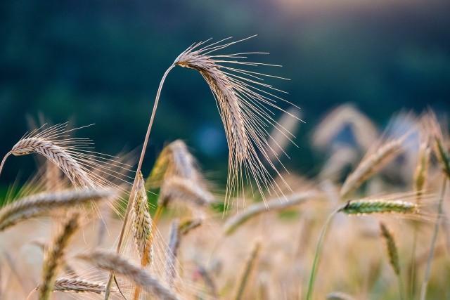 Cena żyta jest podstawą obliczania podatku rolnego