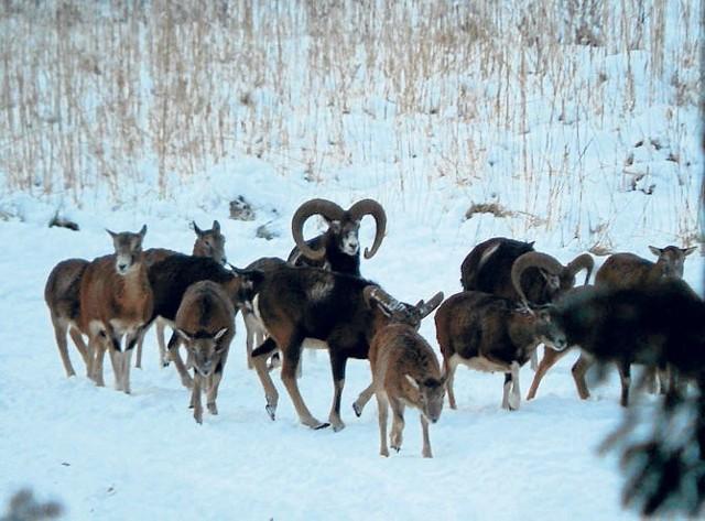 Mieszkańcy polanowskich lasów w pełnej krasie - w stadzie jest kilkanaście muflonów