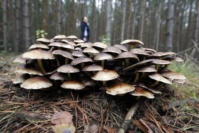 Niektórzy grzybiarze podczas spaceru po lesie natrafiają na coś, co wprawia ich w osłupienie