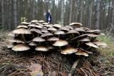 Grzybobranie w Kujawsko-Pomorskiem, które zmieniło się w koszmar. Jedni w lesie znaleźli niewybuchy, inni - ciało