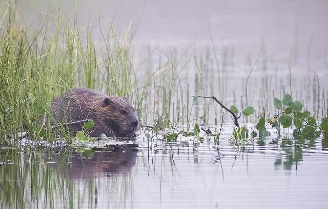 Krajowa Rada Izb Rolniczych chce wpisania bobra na listę zwierząt łownych