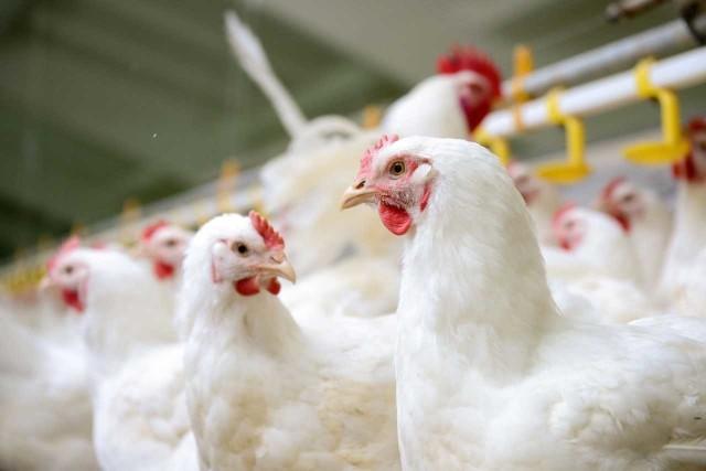 Otwarcie Chin na eksport mięsa to pierwszy etap dla dalszej ekspansji polskich produktów, takich jak lotki czy łapki