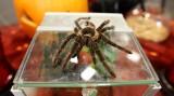 Młody łodzianin ugryziony przez pająka ptasznika! Mężczyzna trafił do kliniki ostrych zatruć