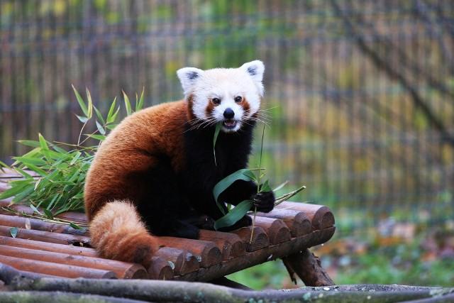 Panda czerwona (mała) w środowisku naturalnym aktywna jest głównie o świcie i zmierzchu