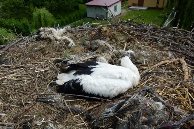 Jedno z gniazd, w którym znaleziono szczątki młodych bocianów