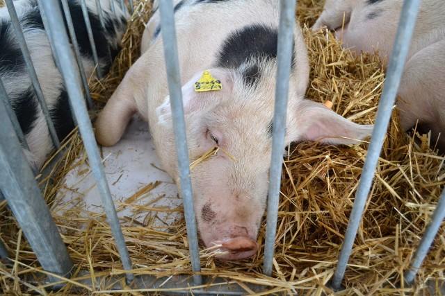 - 210 DJP to nie jest duża obsada zwierząt, tyle to mają dziś średnie gospodarstwa - twierdzi Ryszard Kierzek