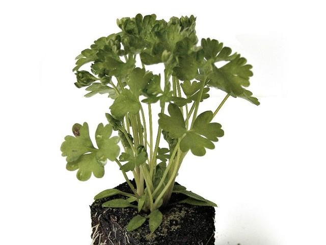 Warzywa korzeniowe, zwłaszcza pietruszkę korzeniową lepiej wysiewać na ogrzaną glebę. Dlatego lepiej opóźnić siew tego warzywa. Późniejszy siew da lepsze i równomierne wschody.