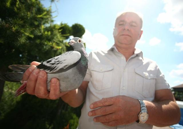 Henryk Pysiak prezentuje jednego ze swoich najlepszych ptaków. Samiczce gołębia pocztowego podróż z Paryża zajęła trochę ponad 40 godzin.