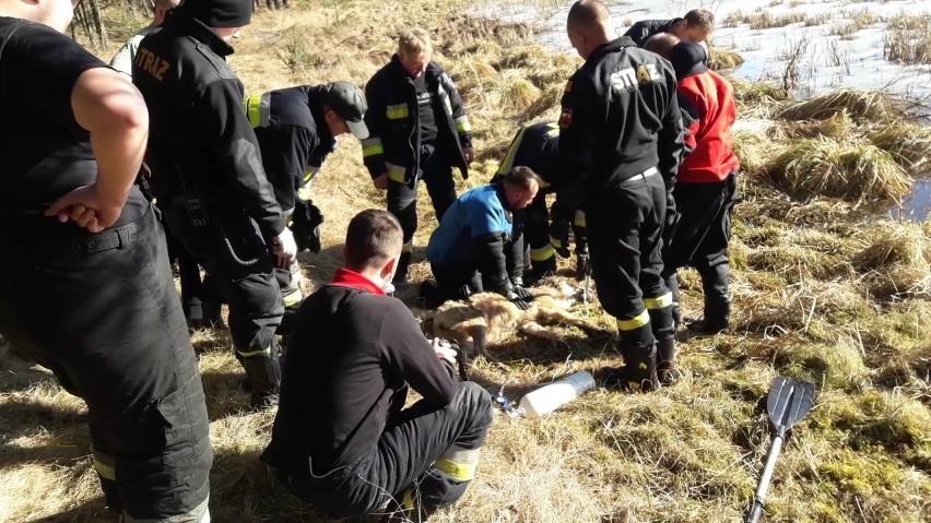 Wilk tonął na jeziorze w Płocicach. Z pomocą przybyli strażacy, którzy wyciągnęli zwierzę na brzeg [ZDJĘCIA]