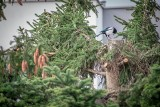 Deweloper ściął drzewa bez zgody? Mieszkańcy Jeleniogórskiej walczą z wycinką ostatnich dużych drzew w okolicy. Są na nich gniazda ptaków