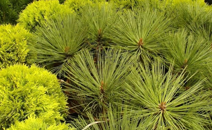 Iglaste I Liściaste Drzewa Do Małego Ogrodu Jakie Drzewa