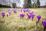 Piękna wiosna w Parku Śląskim. Kwitną kwiaty, a parkowe rabaty zdobią alejki spacerowe. Zobaczcie ZDJĘCIA