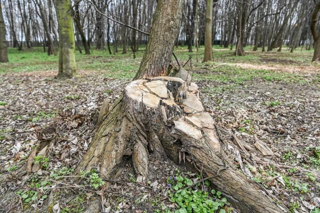 Wycięte drzewa na Westerplatte