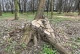 Kto i dlaczego wyciął 250 drzew na Westerplatte? - pytają radni klubu Wszystko dla Gdańska