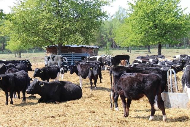 Stado wolnych krów przebywa w Lipkach Wielkich od trzech miesięcy.