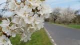 Aleje czereśniowe zakwitły pod Górą św. Anny. Jest pięknie! [ZDJĘCIA]