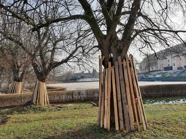 Drzewa na błoniach zostały już zabezpieczone specjalnymi osłonami, które chronią je przed ewentualnym uszkodzeniem, podczas prac prowadzonych ciężkim sprzętem budowlanym. Tworzenie w Niepołomicach ogromnego parku rozpoczęło się w ostatnich dniach. Inwestycja pochłonie niemal 10 mln zł