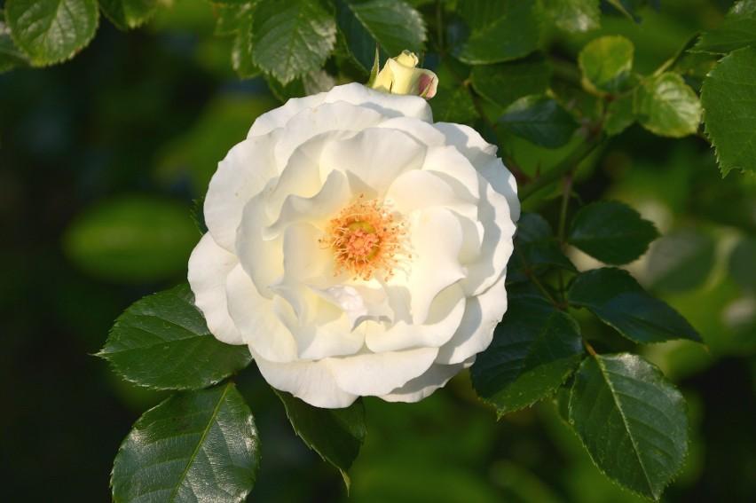 Białe kwiaty pasują do każdego ogrodu. Są wieloletnie i...