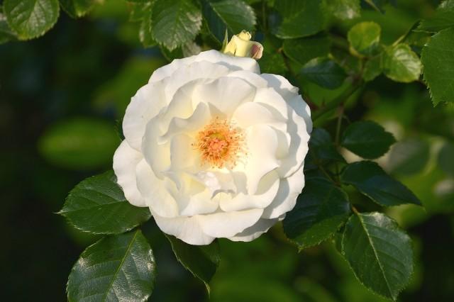 Białe kwiaty wyglądają dobrze w każdym ogrodzie. Możemy z nich tworzyć jednobarwne kompozycje, albo sadzić z kwiatami o innych barwach – czerwonych, niebieskich, fioletowych. Wybór roślin kwitnących na biało jest bardzo duży. Znakomita większość gatunków ma odmiany o białych kwiatach.Białe róże, tulipany, mieczyki, dalie, kosmosy, floksy, lilaki (bzy), piwonie, azalie, rododendrony i wiele innych goszczą u nas na co dzień. Wystarczy wybrać odmianę o białych kwiatach. Tutaj przedstawiamy rośliny, dla których biel jest podstawowym, a niekiedy – jedynym kolorem kwiatów. Wybraliśmy rośliny wieloletnie, łatwe w uprawie, zarówno byliny, rośliny cebulowe, jak i krzewy.Oto 20 roślin kwitnących na biało – przedstawiamy je w kolejności kwitnienia.Uwaga: spośród wymienionych roślin niektóre mają właściwości toksyczne: ciemierniki, przebiśniegi, śnieżyce, narcyzy, zawilce, śniedki, laurowiśnie, konwalie (trujące!), hortensje, owoce kaliny koralowej jedzone na surowo. Warto rozważyć ich sadzenie, jeśli w ogrodzie bawią się małe dzieci i mogłyby przypadkiem zjeść roślinę.