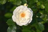 Białe kwiaty do ogrodu. Polecamy 20 roślin, które są piękne, wieloletnie i łatwe w uprawie