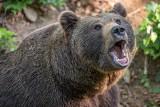 Władze Moskwy ostrzegają mieszkańców: można spotkać na drodze niedźwiedzia