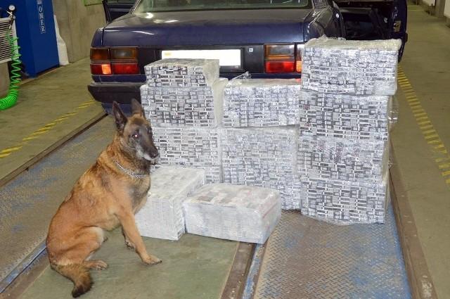 Przemyt 3100 paczek papierosów udaremnili funkcjonariusze podlaskiej KAS z drogowego przejścia granicznego w Kuźnicy wspomagani przez owczarka belgijskiego Igę. Kontrabandę o wartości ponad 40 tys. złotych mundurowi znaleźli w audi na białoruskich numerach rejestracyjnych.