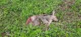 Zaobserwowano wilka w okolicy Kurian. Zaatakował sarnę. Ekspert: To nic dziwnego