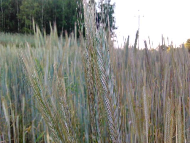 Na polach sucho, a deszczu brakŻyto
