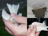 Sensacja ornitologiczna! Wykluły się jaskółki albinosy