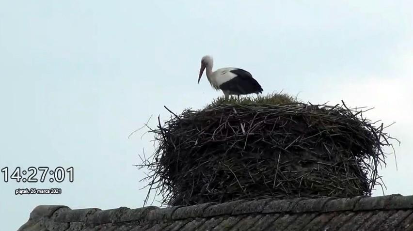Bocian z Rzeczenicy do podglądania na żywo! Ptak zajął gniazdo w piątek