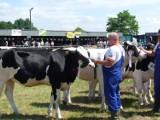 Targi Rolne w Bratoszewicach. Nasienie amerykańskich byków [ZDJĘCIA]