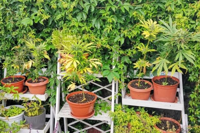 Bydgoska policja znalazła na terenie posesji mieszkanki Solca Kujawskiego:19 krzewów zakazanych konopi indyjskich, susz roślinny, substancje płynne, w tym olejek konopny i ponad 130 tysięcy złotych w gotówce