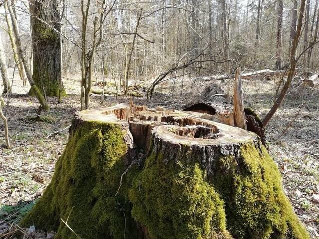 Wycięte drzewa w Białowieży