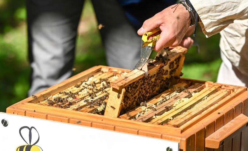 Gdańsk. W mieście zamieszkały kolejne pszczoły miododajne. Znajdziemy je w Parku Reagana i na kampusie Uniwersytetu Gdańskiego