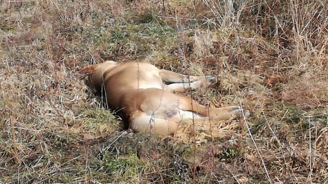 36 – letni mężczyzna śmiertelnie postrzelił psa swoich sąsiadów w Trąbkach Wielkich