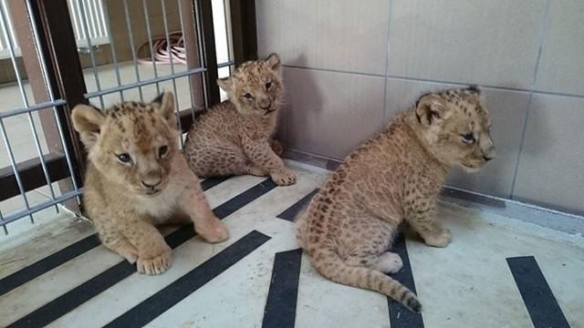 Trzy nowe  lwiątka w gdańskim Zoo