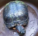 Pod Skierniewicami znaleziono egzotycznego żółwia. Może zagrozić naszym rodzimym gatunkom